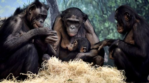 Familia de bonobos. Foto: Jeff McCurry / Proyecto Gran Simio.