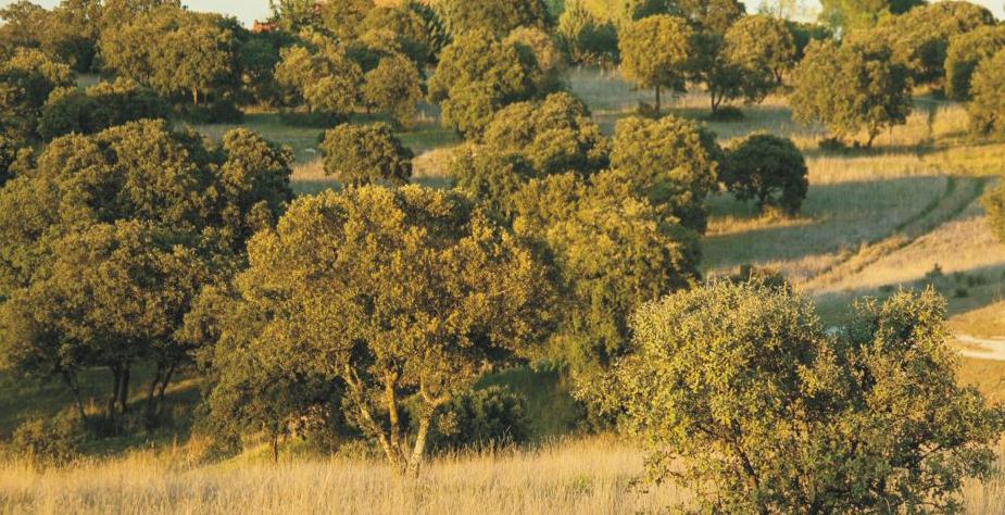 Encinas del Parque del Este (Tres Cantos), ubicado dentro del Parque Regional del Manzanares.