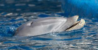 Úlcera en un delfín del Zoo Aquarium de Madrid, con pérdida de piel en la boca.(Fotografía cedida por Sea Shepherd Conservation Society).