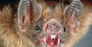El vampiro de Azara: ¿una posible solución al coronavirus?