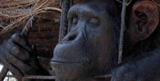 Una ley que defienda los derechos básicos de los grandes simios.