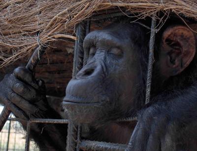 Por la exigencia de una ley que defienda los derechos básicos de los grandes simios